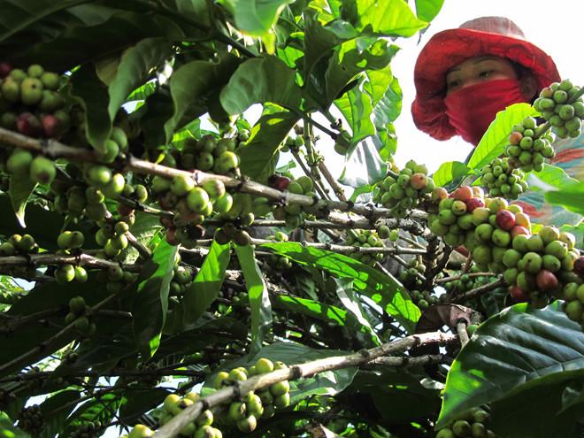 Giá cà phê tăng tác động tốt đến thị trường cà phê Việt Nam